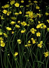 57395.01 Ranunculus acris (horticultural art) Tags: flowers buttercup ranunculus wildflower ranunculusacris horticulturalart