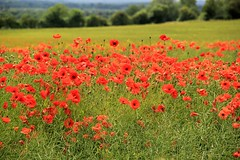 Poppy Field - 2016-06-30 (BillyGoat75) Tags: flowers red nature field poppy northyorkshire a170