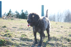 DSC_0191 (juliapee) Tags: dogs spring borderterrier dogsplaying lagotto romangolo