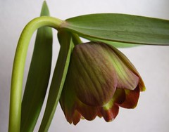 May2013 188 Fritillaria pontica (monica_meeneghan) Tags: flower spring bej artistspotlight blinkagain thesunshinegroup sunrays5