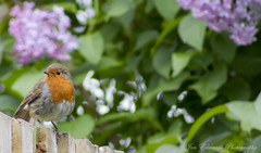 Robin Red Breast (jonedwards1990) Tags: uk flowers red england sky flower bird london robin birds canon fence eos breast purple britain great gb stare essex hornchurch romford upminster 550d havering unitedkingdown