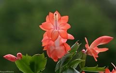 """A beleza das flores reflete a perfeição da Vida!"" (AvóQuéu) Tags: excellentsflowers natureselegantshots mimamorflowers panoramafotografico coth5 theoriginalgoldseal flowerthequietbeauty"