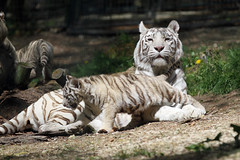 tigre blanc royal. (stef.starco) Tags: baby nature animal canon zoo wildlife tiger mother maman tigre bb 41 loiretcher beauval zoodebeauval 70200mml saintaignan zooparc staignan canon7d stefstarco 70200mmislusmii