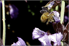 Bee in Sage (joeldinda) Tags: flower garden blossom sage bee honeybee joeldinda c50