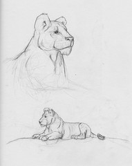 lioness and cub (devinderry) Tags: art cub drawing lion lioness woodlandparkzoo zooart liondrawing zoodrawing lionillustration woodlandparkzoodrawing zooillustration lionessillustration adiawoodlandparkzoo