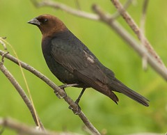 Brown-headed Cowbird (John Strung) Tags: birds brownheadedcowbird