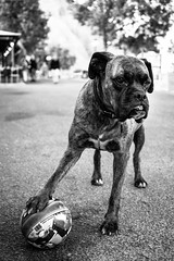"""Grab The Ball, I Dare You"" (Nuzulu) Tags: dog ball risk ownership nikon1v2"
