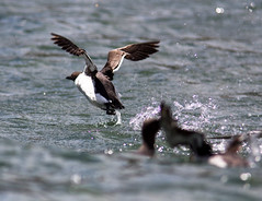 Exit Guillemot (Griff~ography (John)) Tags: sea bird water coast flying yorkshire splash takeoff guillemot
