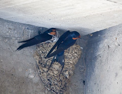 Barn swallows 1 (digiteyes) Tags: park toronto birding barnswallows wildlifepreserve lesliespit