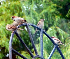 "Sparrow look-out: ""You look that way, I'll watch your backs!"" (Cardedfolderol) Tags: birds gate sparrow housesparrow gardenbirds"
