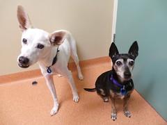 Egan and Mei Mei (Rayya The Vet) Tags: dog vet canine geriatric vaccination twitter whippetcross vetexam miniaturepinschercross