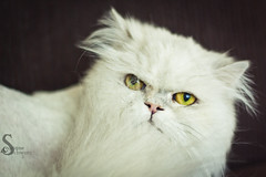 So Annoyed (corinne.schwarz) Tags: cute persian funny soft pretty fuzzy angry whitecat yelloweyes httpschwarzphotographyweeblycom