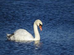 IMG_0190 (Marko_J_Aho) Tags: birds finland helsinki muteswan cygnusolor kyhmyjoutsen
