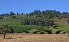 Stoller vineyards Dayton Oregon (Pocoken) Tags: usa oregon winery grapes dayton winecountry canon7d ripevines taxfreestate