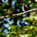 "A pair of White-eared Jacamars (Galbalcyrhynchus leucotis) • <a style=""font-size:0.8em;"" href=""http://www.flickr.com/photos/101688182@N03/9772307396/"" target=""_blank"">View on Flickr</a>"