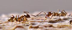Hormiga argentina (Linepithema humile) (Jess Alberto Ramrez Viera) Tags: macro argentina ant arthropoda hormiga insecto insecta linepithema insec humile artrpodo