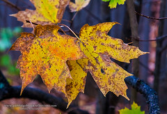 Hanging On (Jeff Newcomer) Tags: autumn fall leaves vermont foliage brattleboro