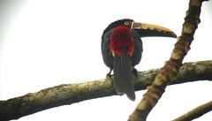 Collared Aracari (David Ascanio (VENT & Ascanio Birding Tours)) Tags: bird vent birding panama gamboa abt victoremanuel birdingpanama davidascanio ascaniobirding
