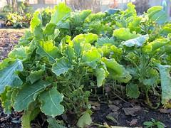 Wildkohl (Brassica oleracea var. oleracea)