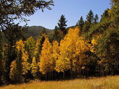 Golden Aspen Trees (Batikart) Tags: travel blue autumn trees light vacation sky usa oktober sun mountain holiday mountains gr