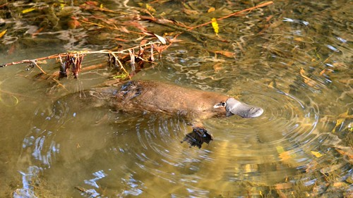 Wild Platypus 4 by klausber, on Flickr