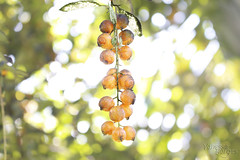 Siriguela berry wishes. ( Vanvan ) Tags: brazil frutas fruits brasil berry tropicalfruits siriguela tropicais