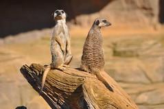 Victorian Meerkat (Procrustes2007) Tags: uk zoo meerkat britain colchesterzoo nikond90 sigmadg70300f456macro