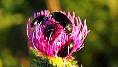 182macro (Hegyaljai Imre) Tags: macro insect makro insekten rovar makr rovarok hegyaljaii