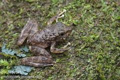 Amolops larutensis IMG_5406 copy (Kurt (OrionHerpAdventure.com)) Tags: amphibian frog herp herps froglet herpetology amphibia amolopslarutensis laruttorrentfrog
