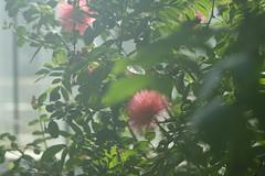 (ddsnet) Tags: plant flower japan tokyo sony cybershot  nippon    nihon  silktree flower     rx10  tkyto  japan    flowerinjapan