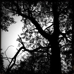 Drought. (musing...) Tags: trees shadow bw silhouette mobile photography australia victoria photostream iphone hipstamatic