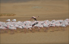 Up and Away (The Spirit of the World ( On and Off)) Tags: africa nature birds wildlife flamingos fowl namibia atlanticocean walvisbay southernafrica rememberthatmomentlevel1