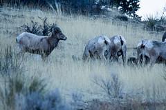 _MG_6898a (markbyzewski) Tags: colorado gardenofthegods ugly coloradosprings ram bighornsheep