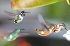 Colibríes (José M. Arboleda) Tags: colibrí hummingbird troquilinos bird ave apodiforme coconuco eos josémarboledac blinkagain mygearandme trochilidae ef400mmf56lusm markiii canon colombia 5d