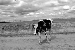 Cow (erinwolf1997) Tags: california blackandwhite bw animal rural cow cattle merced agriculture livestock bovine ucmerced