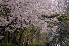 Petal Storm (Skagos26) Tags: trees nature beautiful weather petals spring nikon asia wind korea petal southkorea 105mm treets seoulzoo d7100 cherryclossoms