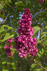 purple lilac (Val in Sydney) Tags: france flower nature fleur lila lilac indreetloire