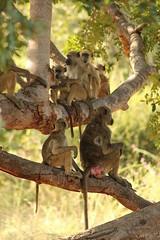 Namibia 04/14 (nele_ls) Tags: life africa wild summer sun hot tree green nature weather animal animals canon outside eos monkey drink wildlife south natur 300mm 600 afrika tele savannah 300 makro 70 namibia affe sd savanne 600d kontinent