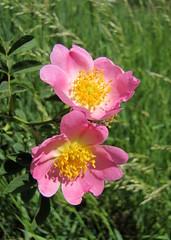 ölelés / embrace (debreczeniemoke) Tags: plant flower spring bush meadow dogrose tavasz virág bokor rosaceae rosacanina heckenrose növény hundsrose rét vadrózsa rosierdeschiens gyepűrózsa hagrose rózsafélék csipkerózsa églantierdeschiens rosierdeshaies canonpowershotsx20is măceș