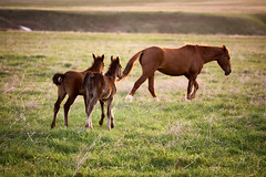 Two foals running for a mare (Maxim Petrichuk) Tags: life flowers sunset two horses baby brown mountains green nature beauty field grass animals horizontal rural mammal outdoors freedom evening spring mare child group mother meadow nobody scene parent pasture kazakhstan herd idyllic equine mane offspring filly foal nonurban