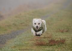 Oliver (Ian Threlkeld) Tags: family pets dogs animals nikon flickr oliver terrier irt bestfriends breeds pittmeadows ridgemeadows d7000