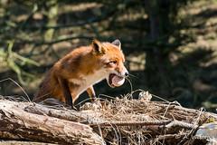 Fox with egg (a3aanw) Tags: netherlands noordholland amsterdamsewaterleidingduinen bentveld nikond800 nikonafsnikkor70200mmf28gedvrii