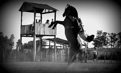 Bem atirado (Eduardo Amorim) Tags: brazil horses horse southamerica brasil criollo caballo cheval caballos cavalos pferde cavalli cavallo cavalo gauchos pferd riograndedosul pampa hest hevonen campanha brsil chevaux gaucho  amricadosul bag fronteira hst gacho  amriquedusud  gachos  sudamrica suramrica amricadelsur  sdamerika crioulo caballoscriollos criollos jineteada   americadelsud gineteada  crioulos cavalocrioulo americameridionale caballocriollo eduardoamorim cavaloscrioulos