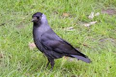 DSC_2379 (Vlad Proklov) Tags: birds richmond