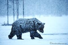 Brown bear (andrea.marzorati) Tags: bear brown white snow cold finland mammal wildlife snowfall ursus taiga arctos