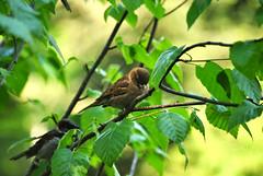 Little fluff (samsigelakisminski) Tags: newyork birds spring depthoffield chickadee northamerica botanicalgarden nycbotanicalgarden
