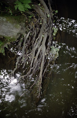 Roots (Florian Thein) Tags: film nature water analog creek 35mm stream wasser natur roots bach fluss wurzeln kodakgold200 canonf1