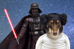 "Princess Ally says ""Is that a lightsaber Darth or are you just pleased to see me?""  Happy Star Wars Day (aussiegall) Tags: dog starwars ally kelpie princessleila"