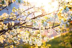 IMG_7113 (D-Ulia) Tags: city flowers sunset sun streets girl smile kids backlight fun spring twilight little blossom bokeh walk backlit walkaround bycicle