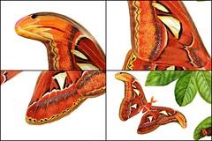 Attacus Atlas - Close-ups (esperoart) Tags: art butterfly watercolor painting botanical wings moth exhibition atlas attacus esperoart